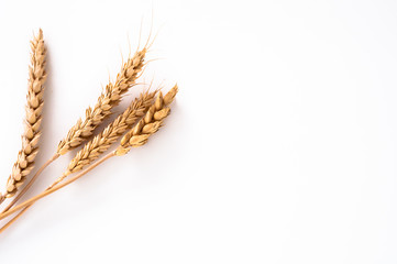 wheat sprouts isolated on a white background