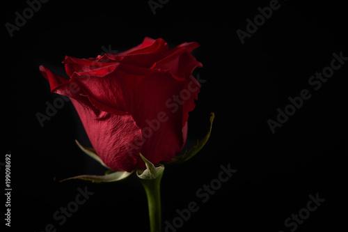 Rosa Rossa Su Sfondo Nero Con Luce Di Taglio Stock Photo And