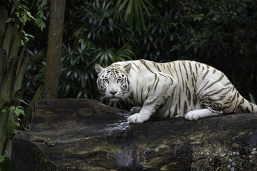 Foto auf AluDibond Tiger Tiger in a jungle. White Bengal tiger on tree trunk with forest on background