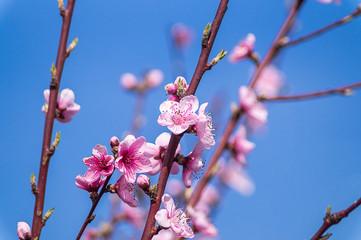 Spring image. Peach blossom branch on blue sky background.