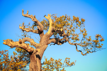 Big old withered tree against a blue sky at bushy park in London