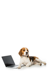 adorable beagle dog with laptop with blank screen isolated on white