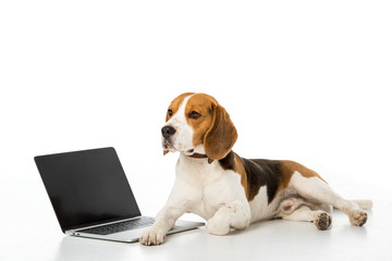 cute beagle dog with laptop with blank screen isolated on white