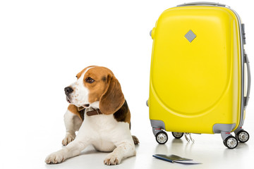 cute beagle dog with suitcase, passport and ticket isolated on white