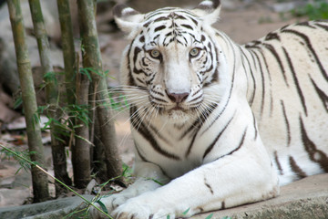 close up White tiger in jungle