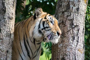 close up tiger near river