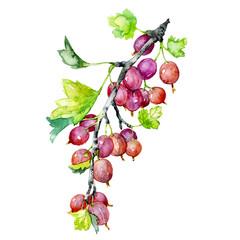 Ripe, tasty, summer, garden, fragrant gooseberry. A bunch of useful berries. Watercolor. Illustration