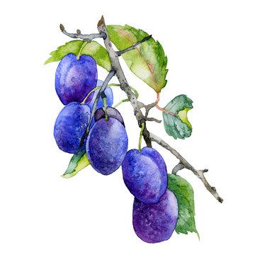 Ripe, tasty, purple, garden plum. Plum branch with leaves. Watercolor. Illustration