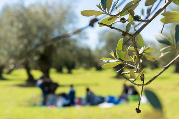 Close Up of Olives Tree Leaves on Blur Family Pic-Nic Background in a Sunny Day. Taranto, South of Italy
