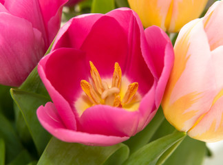 colored tulips close-up, macro photography