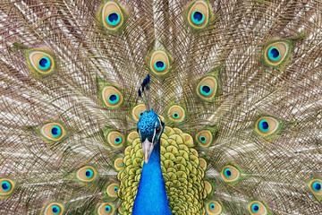 Close up of a male peacock displaying its tail feathers
