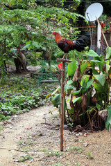 Roosters, pride of Philippines