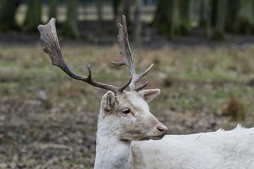 Herd of white fallow deer (Dama dama)