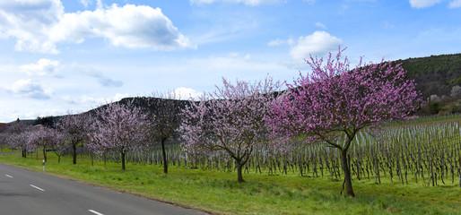 Blühende Mandelbäume in der Pfalz an der deutschen Weinstraße