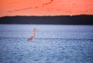Garden Poster Flamingo single pink flamingo in water