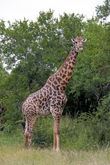 Giraffe at Imfolozi-Hluhluwe Game Reserve in Zululand South Africa