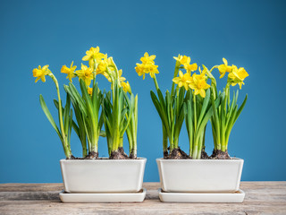 Fresh potted daffodils