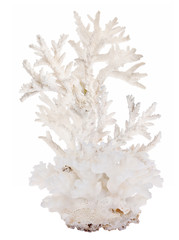 high dense white isolated coral