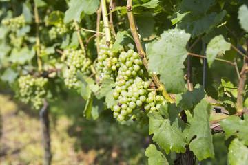 Vineyard in the province Noord-Limburg, Netherlands