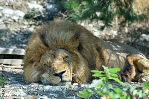 The big lion sleeps, putting his own goal on the ground. The lion sleeps in the zoo