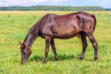 a thin horse walks on a green field