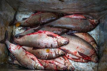 Coregonus peled (white fish) salting on the wild nature. Yamal.