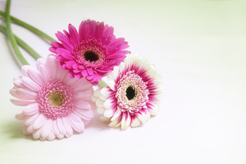 three gerbera flowers in pink and white on a bright background with copy space, greeting card for valentine's or mother's day with copy space