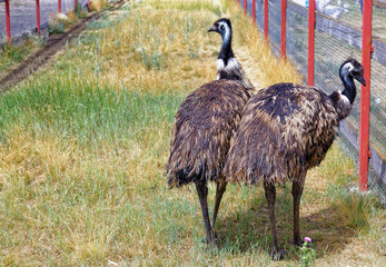 Two birds emu walk in the enclosure in outdoor
