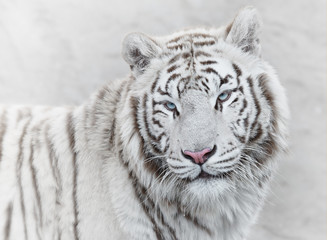 Wall Mural - Thoughtful white tiger