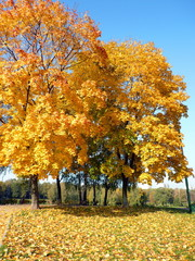 maple alley at autumn