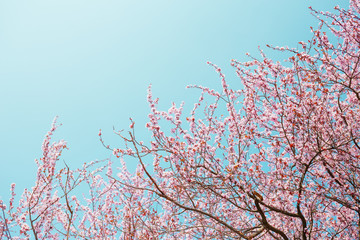 Blossoming pink sakura and blue sky. Early spring.