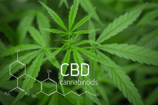 Cannabis Picture of  Formula CBD