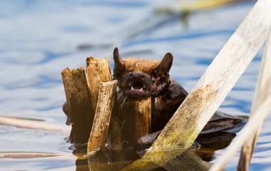 Fledermaus rettet sich nach Absturz über einem Teich an den Schilfgürtel am Ufer