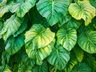 Beautiful green leaves, Used for natural textured and background.