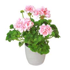 Géranium zonale rose