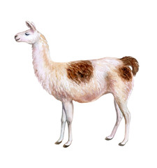 White and brown llama hand-drawn watercolor illustration. Cute mammal animal painting isolated on white background. Template. Manual work. Close-up