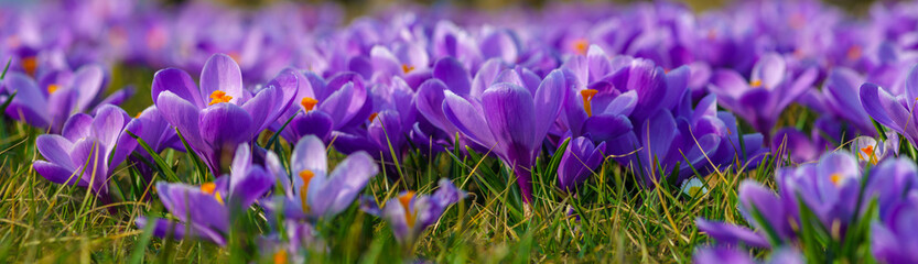 panorama with blooming crocuses, closeup