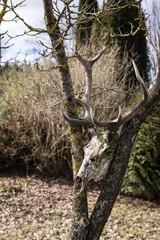 found in the woods - an old deer skull with horns; deer antlers.