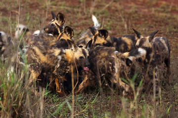 The African wild dog (Lycaon pictus), also as African hunting or  African painted dog, painted dog or painted wolf,young dog separated from the pack.Puppy  in high grass.