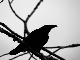 Corbeau monochrome