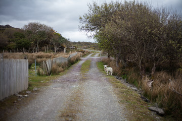 Lamb on Road in Ireland