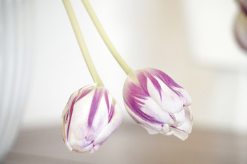Tulips on violet colors hanging down