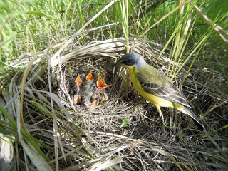 Motacilla flava. The nest of the Yellow Wagtail in nature.