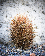 Dried desert cactus. Death Valley National Park, California.