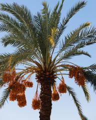 A date palm.