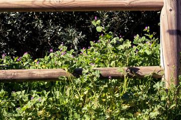 Pelargonium in the park