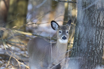whitetail deer in winter