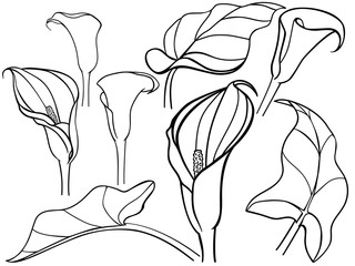 Calla, lily. Callas with leaves in different angles. Constructor, templates, set. Botanical illustration. Line drawing. For coloring.