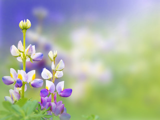 Lupinus mutabilis flowers on the blurred background