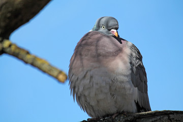 Adult Common wood pigeon (Columba palumbus) against clear blue sky